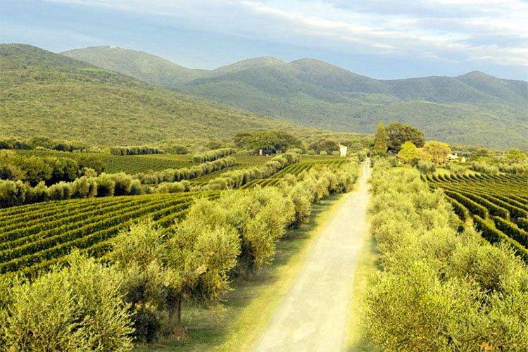 Ornellaia Vineyard Italy