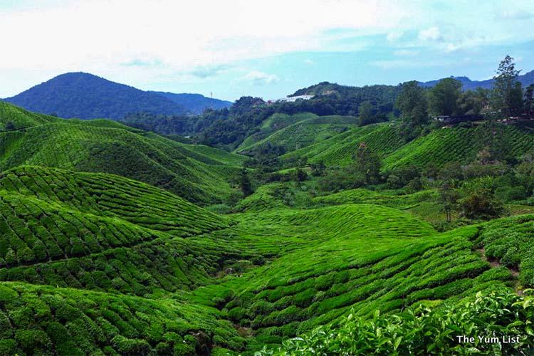 BOH Tea Plantations, Cameron Highlands