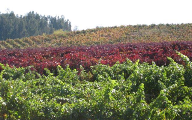 PengWine Vineyards, Chile