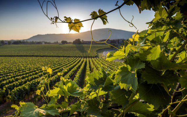 Pelissero Vineyards
