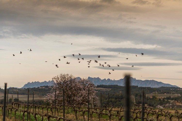 Raventos Vineyard